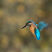 Kingfisher in Autumn