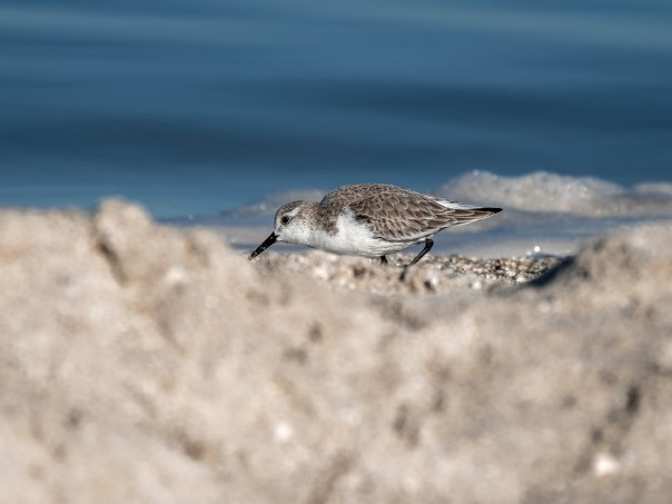Sanderling through the sand