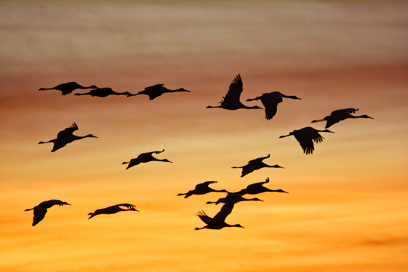 Sandhill cranes at Jasper-Pulaski Fish and Wildlife Area