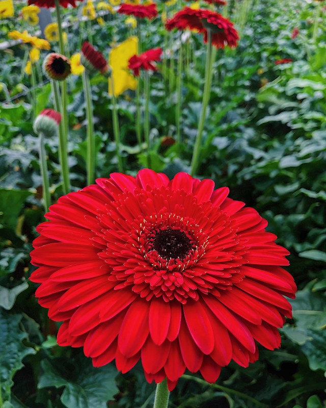 my love is like a red, red gerbera daisy