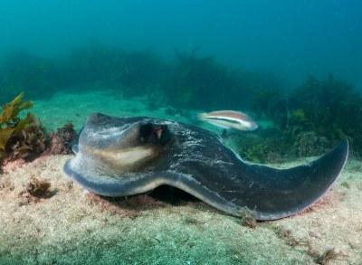Southern Eagle Ray - Myliobatis tenuicaudatus #marineexplorer #underwatersydney