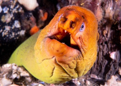 Gymnothorax prasinus moray eel #marineexplorer #underwatersydney