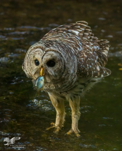 When voles are not available I like to eat fish (Barred Owl). Nanaimo B.C.