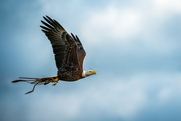 Eagle in flight with nesting material 2