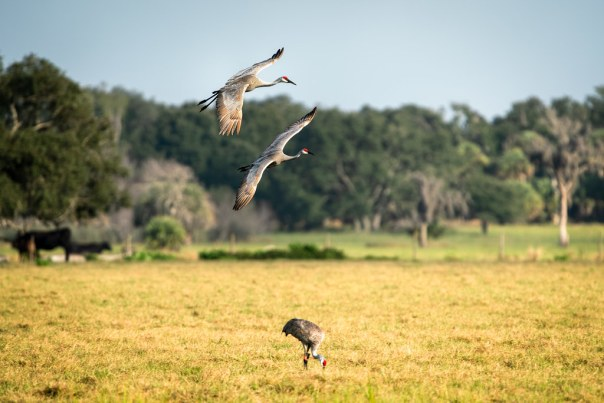Sandhill Cranes on final approach