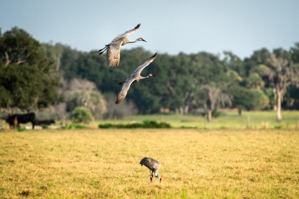 Sandhill Cranes on final approach