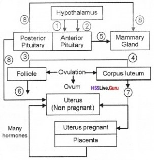 Plus Two Zoology Human Reproduction Three Mark Questions and Answers 22