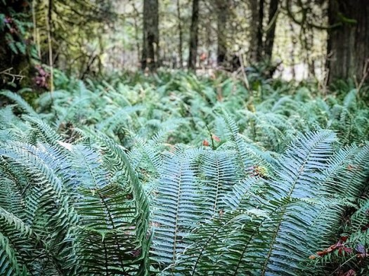 So green on the #sunshine coast. @sunshinecoastbc #explorebc #britishcolumbia #fern #happybirthdaymiss604