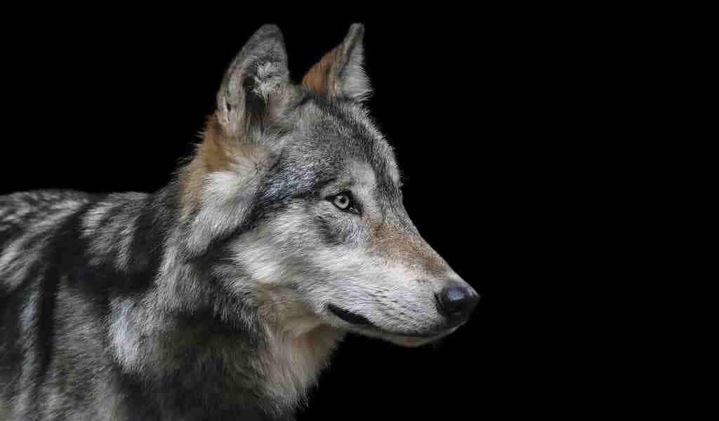 les-loups-gris-savent-également-jouer-à-rapporter-des-objects