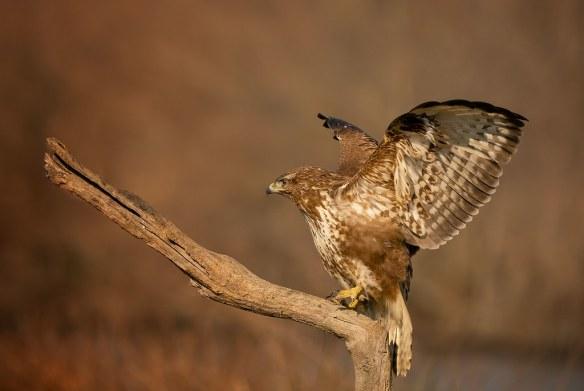 Common Buzzard: Buteo buteo