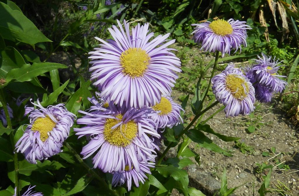 flor violeta o lila flora de St. Goarshausen a Dörscheid Valle del Rin Alemania 16