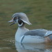 Wood Duck (HH)