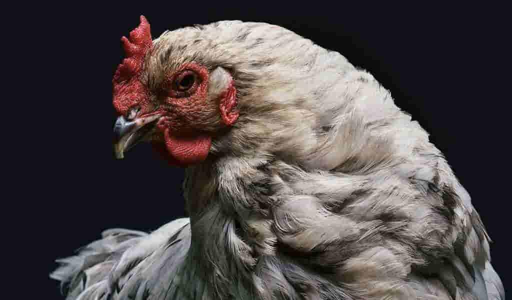 des-poulets-édités-avec-CRISPR-sont-résistanst-à-un-virus-commun
