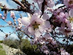 Amandier sauvage en fleurs......