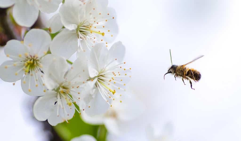 un-microbiome-modifié-pour-protéger-les-abeilles-des-maladies