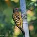 Carpintero -Melanerpes striatus- Hispaniolan Woodpecker