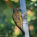 Carpintero -Melanerpes striatus- Hispaniolan Woodpecker