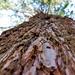 Sequoia al Montseny