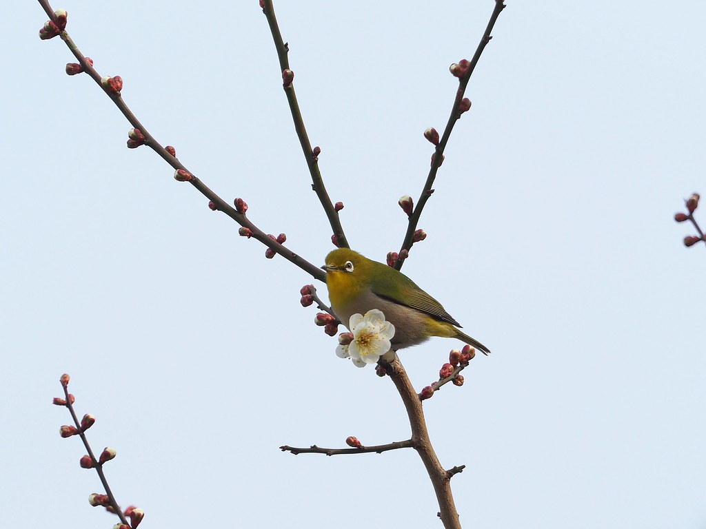Japanese white-eye (Zosterops japonicus, メジロ)