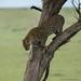 Leopard on the Mara