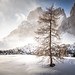 The lonesome tree, Sassolungo, Dolomites, Italia