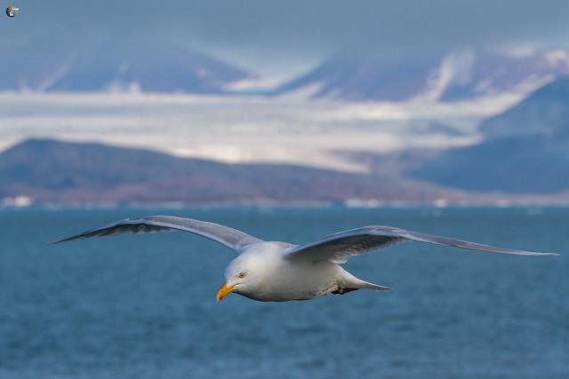 Glaucous gull / Eismöwe