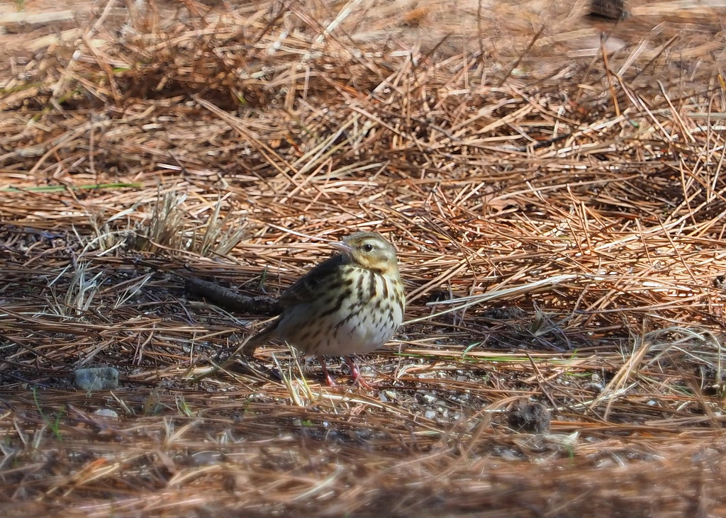 Olive-backed pipit (Anthus hodgsoni, ビンズイ)