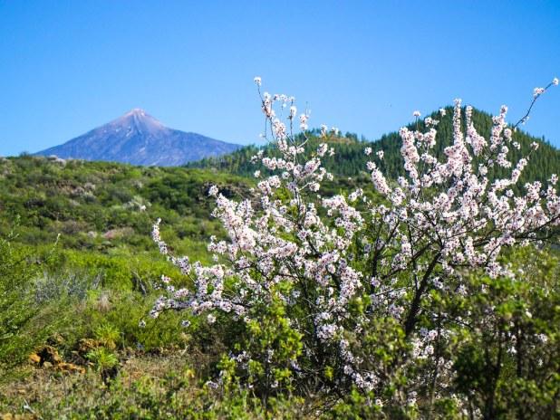 Imagen del Teide en la ruta de los almendros en flor
