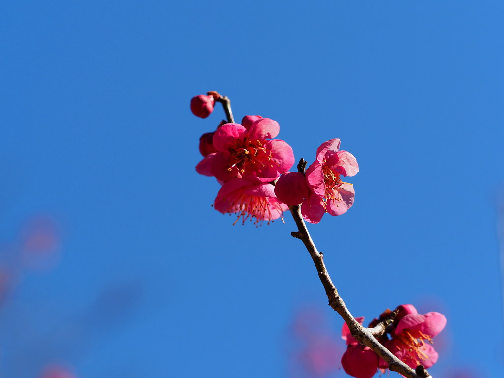 Pink plum blossoms