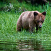 Bashful Grizzly male cub in water by Sedge grass