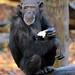 chimpanzee Burgerszoo BB2A0315