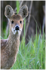 Chinese Water Deer Portrait.