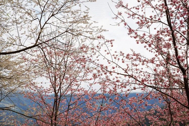 新竹賞櫻景點 萬里山園:號稱「遠得要命的賞櫻秘境」藏在新竹深山中的秘境,整片粉嫩昭和櫻及雪白霧社櫻滿開