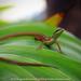 the Asian Grass Lizard