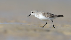 Red-necked Stint nonbreeding