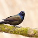 Common Grackle.