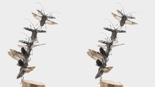 ゴマダラカミキリの飛翔 立体写真