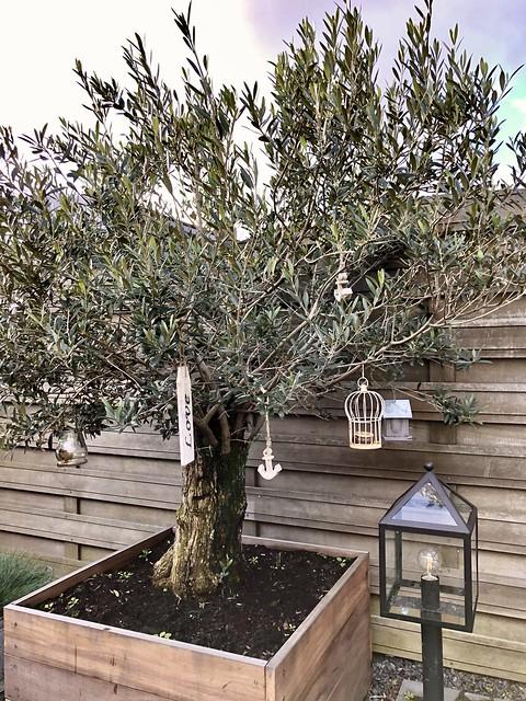 Olijfboom in houten vaste plantenbak op terras