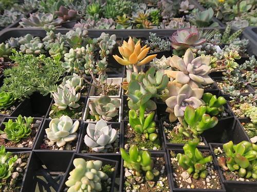 台南麻豆佳田花圃:專門培植多肉植物,多種又便宜的批發價