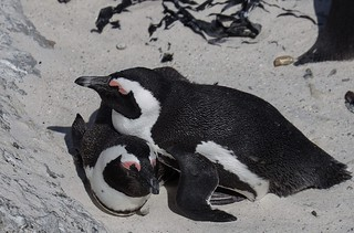 Penguins snuggling