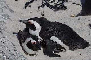 Penguins snuggling