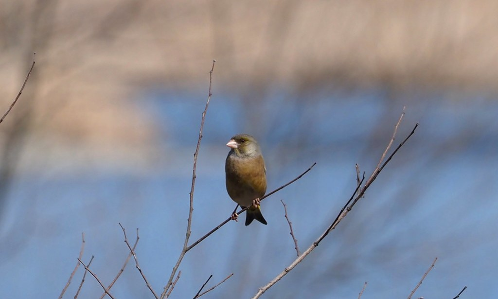 Grey-capped greenfinch or Oriental greenfinch (Chloris sinica,  オオカワラヒワ /  カワラヒワ)?