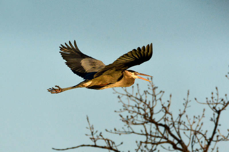 Great blue heron at Rock Run Rookery