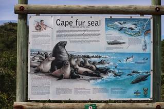 Seals at Robberg