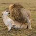 African Lions - Panthera leo