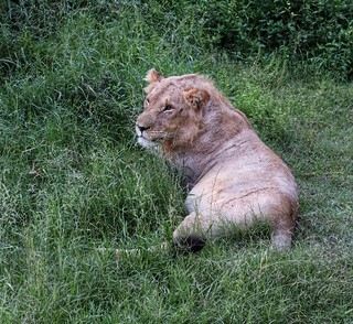 Resting Prince of the jungle