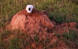 Termite hill with Zebra skull