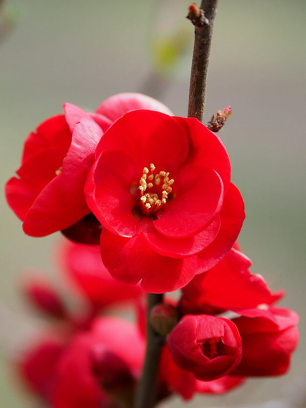 Japanese quince (Chaenomeles japonica, クサボケ)