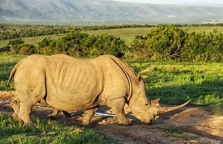 Rhino on the road
