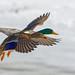 ♂ ♀ Canard colvert - Mallard - Anas platyrhynchos